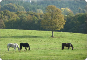 Retired Horses Grazing